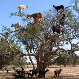 Goats on trees because the coffee bean made them do it